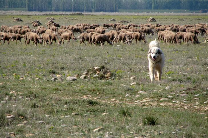 Patou et troupeau en plaine de Crau...vivement déconseillé de s'approcher! (photo MN)