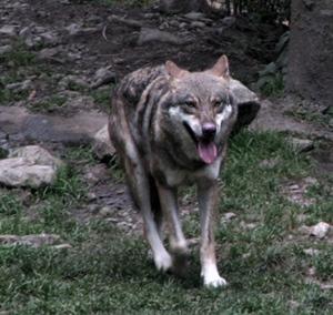 Loup en Tinée. Les troupeaux sont rentrés à la nuit...il change ses habitudes et attaque à l'heure du thé (photo MN)