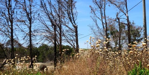 Pays d'Aix; la végétation propice à l'incendie, et les restes du feu d'aout 2016 (photo MN)