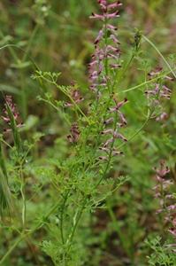 Le fumeterre est considéré comme une herbe de longue-vie (photo FFB DR)