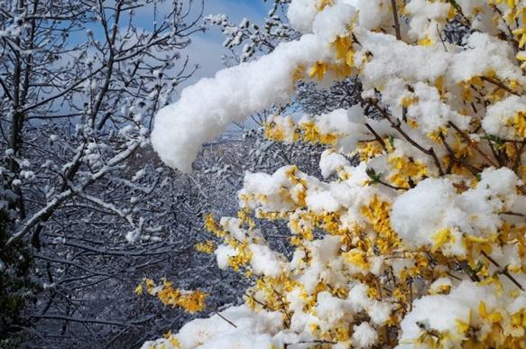 Au Japon on admire les fleurs des arbres, dans le Gapençais elles contrastent avec les ultimes neiges (photo ET)