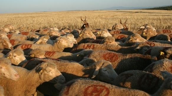 600 000 ovins et 2200 professionnels entre la Crau et la Valle Stura (photo P Fabre DR)