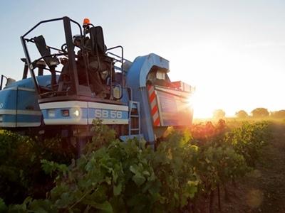 La temperatura delle uve deve restare bassa per rendere più pallido l'aspetto del vino rosé, mentre la vendemmia si svolge fino all'alba... ma non più tardi ! (foto MN)