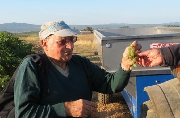 Un maximum : 55 hectolites à l'hectare pour le rosé de Provence, 50 pour l'AOP Sainte-Victoire (photo MN)