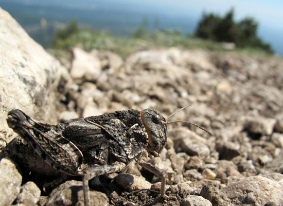 Criquet Pelerin dans une vallée du Mont Venturi, près d'Aix-en-Provence (photo MN)
