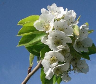 Les poiriers de Crémesine, plantés sur le chemin des pastres, ici en fleurs (Photo XDR)