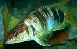 Le sarran est une perche de mer (photo XDR)