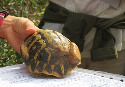 Dotée d'un émetteur radio la tortue peut subir un examen de santé (photo MN)