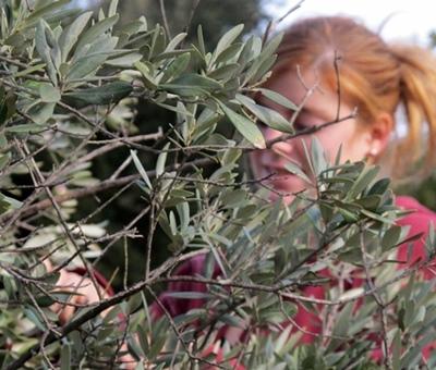 Mais la décoction de feuilles d'oliviers est aussi un bon moyen (photo MN)
