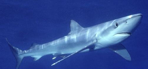 Si les populations de requins bleus se maintiennent et qu'il est encore possible de les pêcher, d'autres espèces telles que le requin blanc disparaissent de Méditerranée (photo XDR)