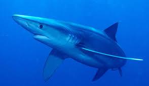 Les restrictions à la pêche lui auraient constitué un garde manger au nord de la Méditerranée (photo XDR)