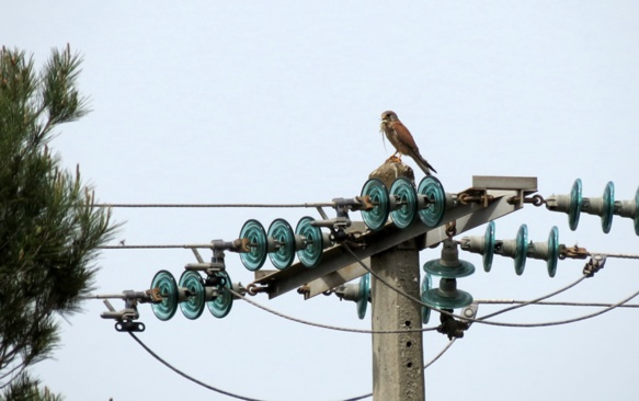 Ce faucon profite d'un rare pylône encore sans bougie pour déguster un lézard ocelé (photo MN)