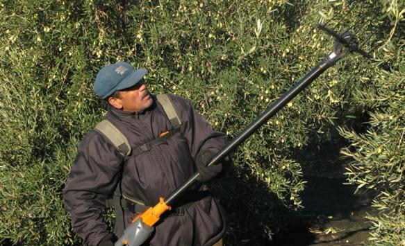 """20 000 oléiculteurs provençaux, dont 5 600 professionnels et 140 moulins seront attentifs à la progression de la """"bactérie tueuse"""", découverte à Nice et Mandelieu (photo MN)"""