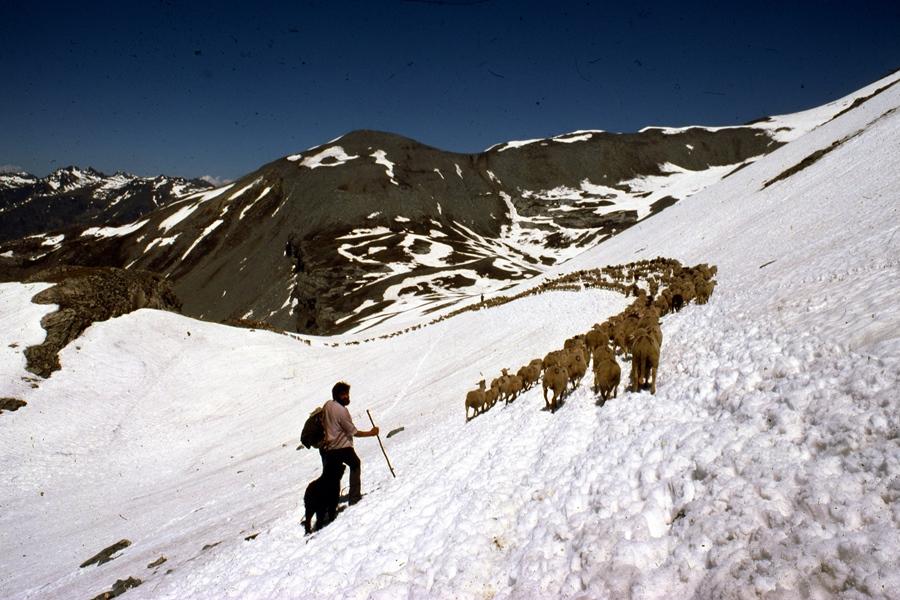 En 1975 il y a encore beaucoup de neige à Auron, autour de 2500 m d'altitude en juillet, et Jean-Marie Michel emmène au col ses bêtes, qui n'apprécient guère de marcher dans le froid (photo André Abbe)