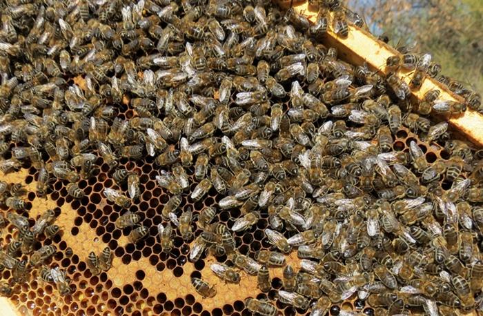 Varoa, frelon asiatique, pesticides...l'abeille indispensable mais maltraitée (photo MN)