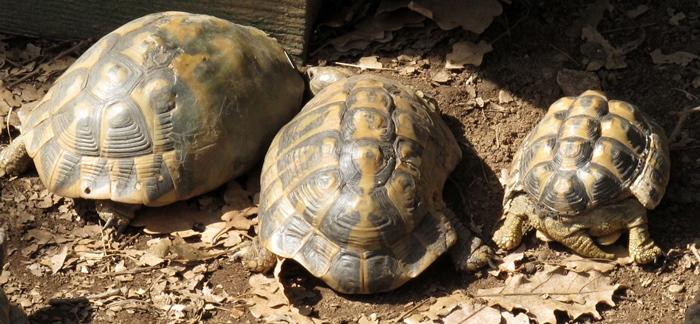 Victimes humaines mais aussi atteinte à la biodiversité. Dans le massif de l'Estérel la population de tortues d'herman très affectée par le feu qui ne laisse aucune chance à l'unique tortue terrestre autochtone (photo MN)