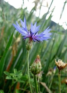 Une victime des herbicides agricoles, le bleuet (photo MN)