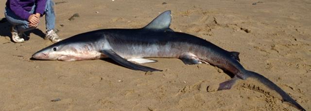 Les individus de moins de 2 m se rapprochent plus facilement du littoral (XDR)