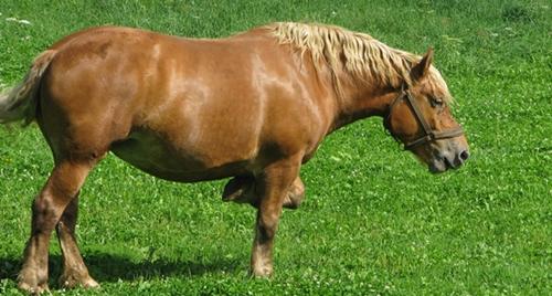 Ce que regarde un cheval, la façon dont il bouge ses oreilles, renseigne les autres sur ses préférences, dont ils tiennent compte (photo MN)