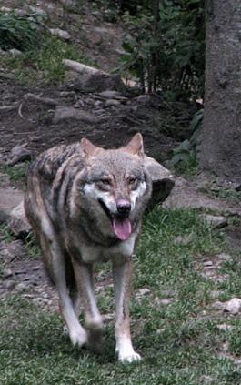 Les éleveurs réclament aussi des plans de chasse étendus. Ils ont une dent contre le loup (photo MN)