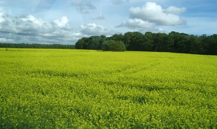 25% de la production française de colza serait mobilisable pour produire des bio carburants, mais ce sont des huiles de palme importées que choisit Total. La loi du marché international prime sur les nécessités économiques nationales (photo MN)