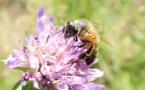 Varroa, frelon asiatique, pesticides, changement climatique, traitements chimiques de la ruche...et découragement des apiculteurs, les dangers ne manquent pas. Butiner, une activité à risques ? (photo MN)