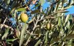 Rendre à l'olive son vrai nom