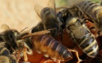 L'abelha tròba sa sosta ultima en vila